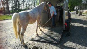 Pferde sicher verladen