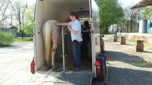 Pferde sicher transportieren und verladen
